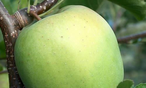 Mutsu alma jellemzői